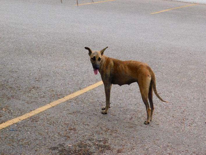 Le légendaire chien mexicain au milieu de la route.