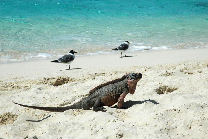 Bahamas Exumas Leaf Cay Iguane