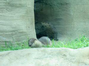 Loutres au Zoo de Miami