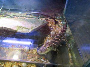 Alligator au Daggerwing Nature Center à Boca Raton