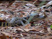 Bébé alligator au Wakodahatchee Wetlands à Delray Beach