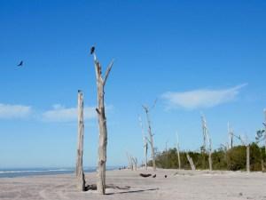 Balbuzards sur des squelettes d'arbres au Stump Pass State Park à Englewood en Floride