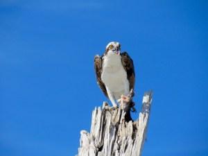 Balbuzard mangeant un poisson au dessus de la plage du Stump Pass State Park à Englewood en Floride