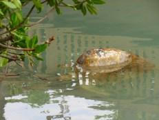 Tortue au Miami Seaquarium