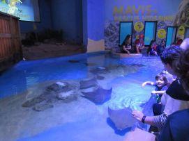 Raies au Clearwater Marine Aquarium