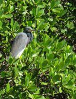 Héron bleu à Weedon Island et ses magnifiques tunnels de mangrove à St Petersburg en Floride