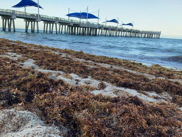 Les sargasses lundi dernier à Pompano Beach