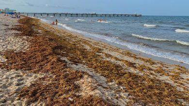 Photo of Floride : Les sargasses commencent à être nombreuses sur les plages de l'Atlantique