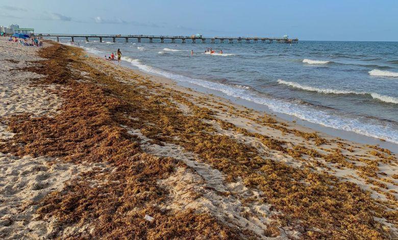 Les sargasses samedi soir à Lauderdale-by-the-Sea (au nord de Miami)