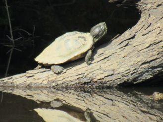 Tortue dans la Forêt d'Apalachicola