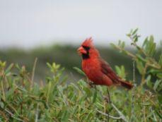 Cardinal dans le Grayton Beach State Park
