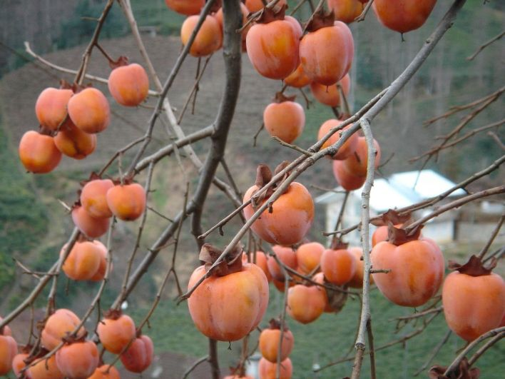 Une branche de kakis
