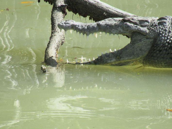 Crocodile américain dans le port de Flamingo (Everglades National Park)