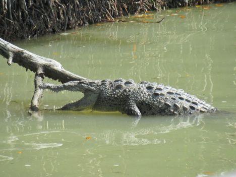 Crocodile se réchauffant au soleil à Flamingo