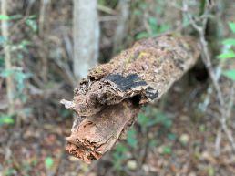 Pineland Trail : des pins de Floride dans les Everglades