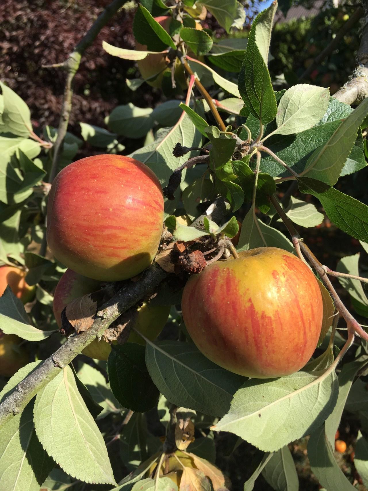 Pommes, fruits de la rentrée