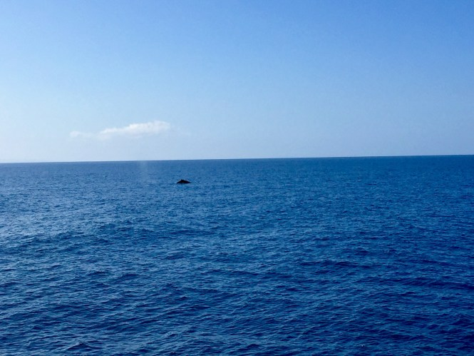 One of the many whales we saw during our five hour cruise.