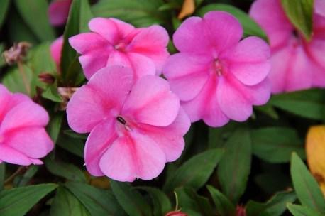 Impatiens Bounce™ Pink Flame 'Balboufink'