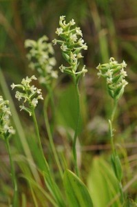Platanthera clavellata