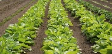 Plus de 30 variétés d'Hosta