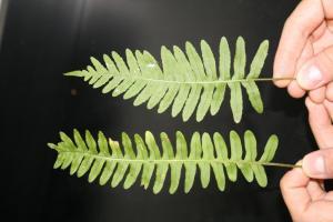 Polypodium appalachium