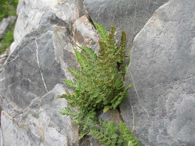 Woodsia ilivensis_2