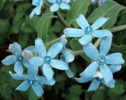tweedia caerulea 'Blue Star'