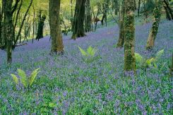 Courtmac Bluebells-C005