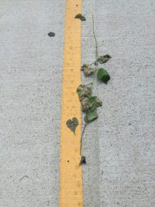 heart-shaped vine on the street