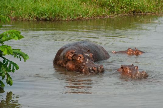 Regina Photographer - In Uganda - Paraa Lodge - Hippos