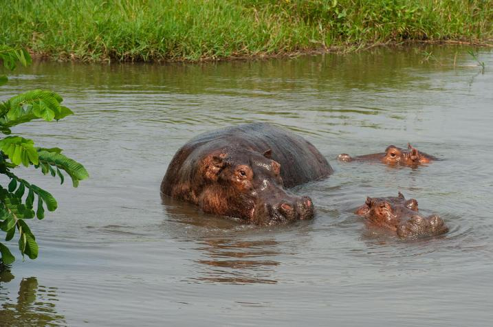 Regina Photographer - In Uganda - Paraa Lodge - Hippos