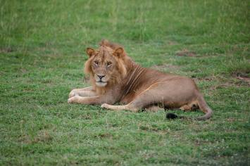 Regina Photographer - In Uganda - Paraa Lodge - Lion