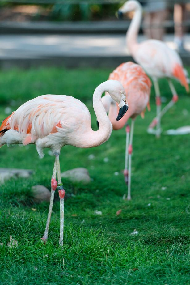 Pink flamingos at the zoo