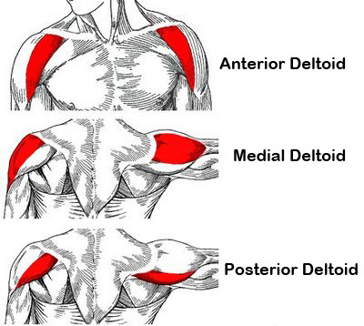 anatomical-deltoid-training_1426102159