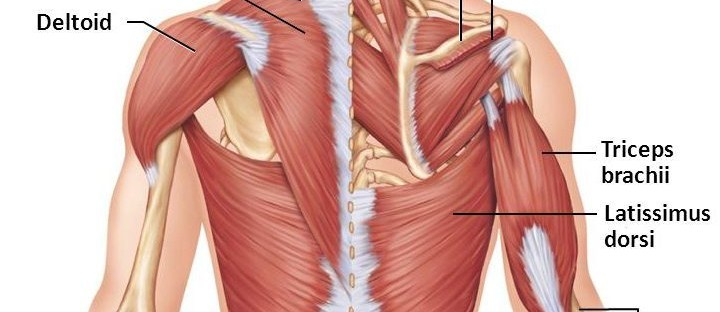detailed view of back muscles