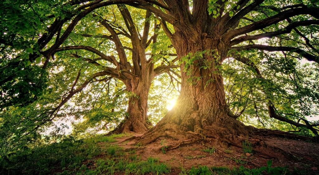 sunshine through two trees