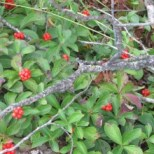 Choke Cherries @ Lake Saint Petere