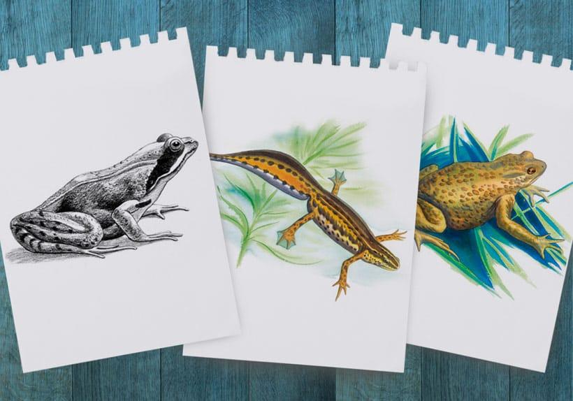 illustration naturaliste au crayon et à l'aquarelle, grenouille et triton parc naturel