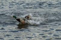 Ducks still fighting