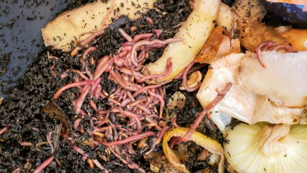 garden tower worms