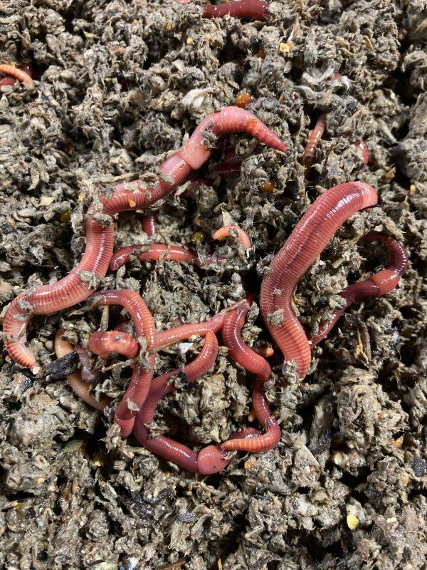 royal worm bedding european night crawlers