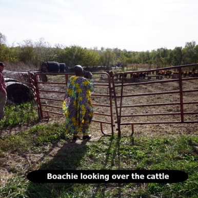 Boachie looking at cattle