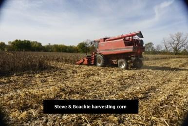 Combine picking corn