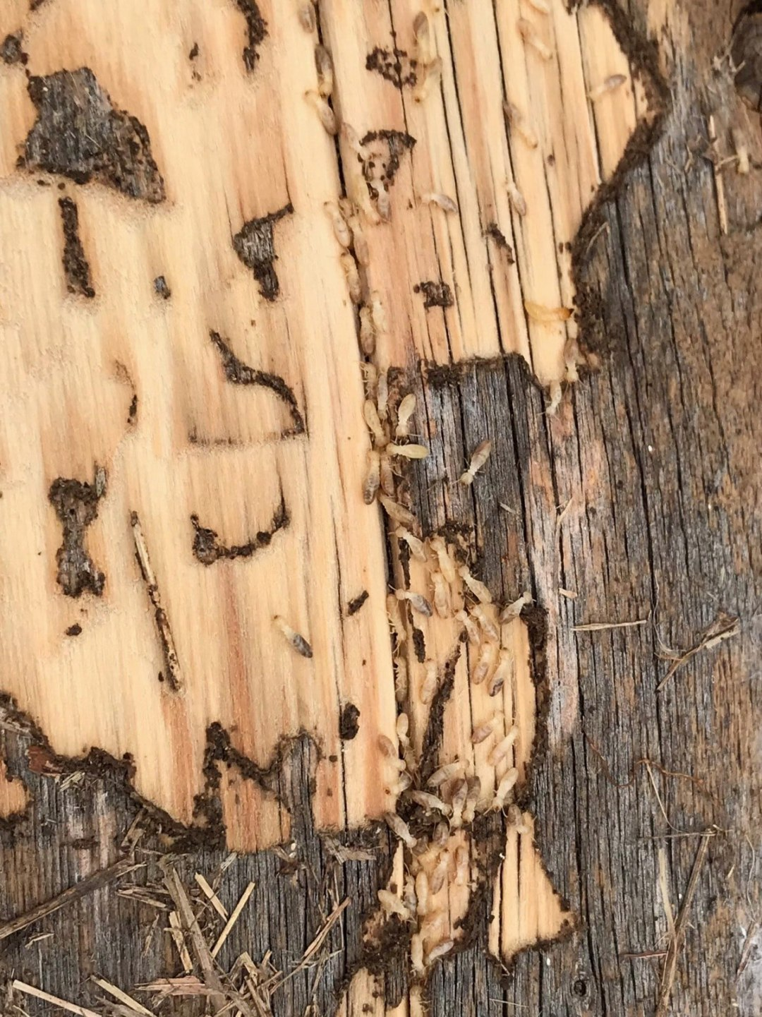 termite damage on wood with termites still present