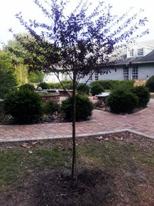 Tree planted in beside Covenant's Memorial Garden and dedicated in honor of Garnet.