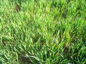 Wheat-may