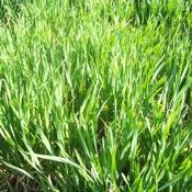 Wheat_2