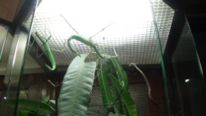 Stick Insect, Butterfly park, Sentosa