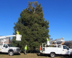 Tree with workers in trucks