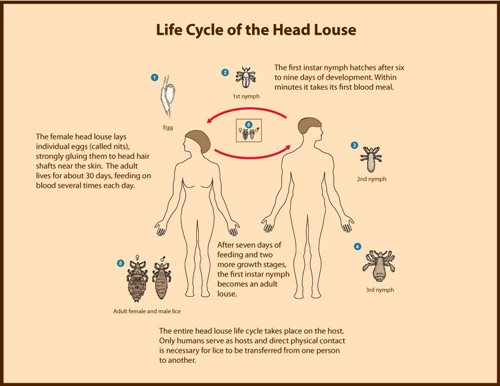Life Cycle Of Head Lice